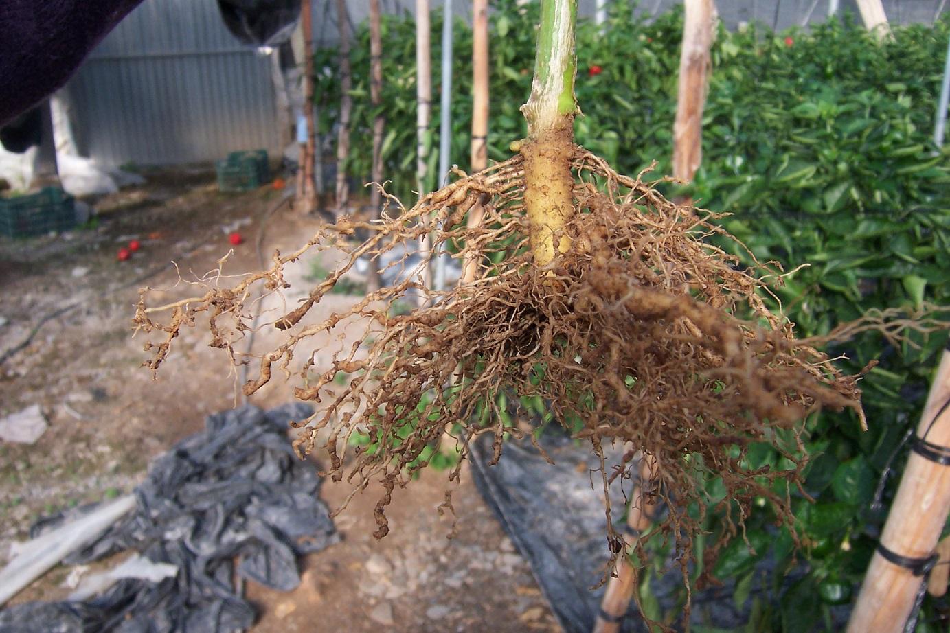 Nemátodos, una amenaza que tiene solución de forma ecológica
