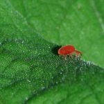 La #plaga de la araña roja