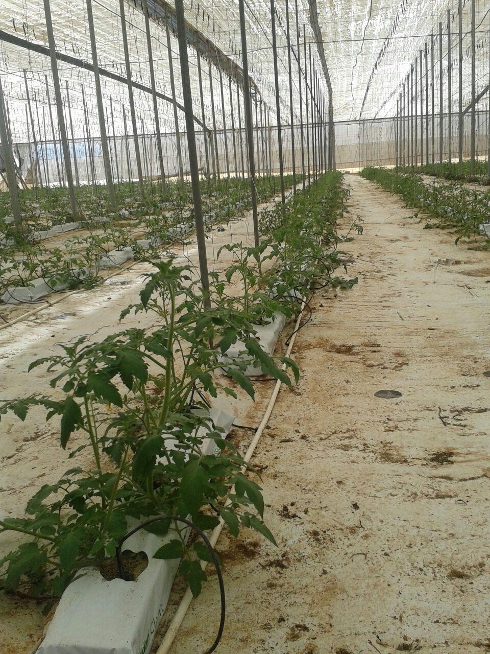La producción del tomate bajo el abrigo del invernadero con hidroponía