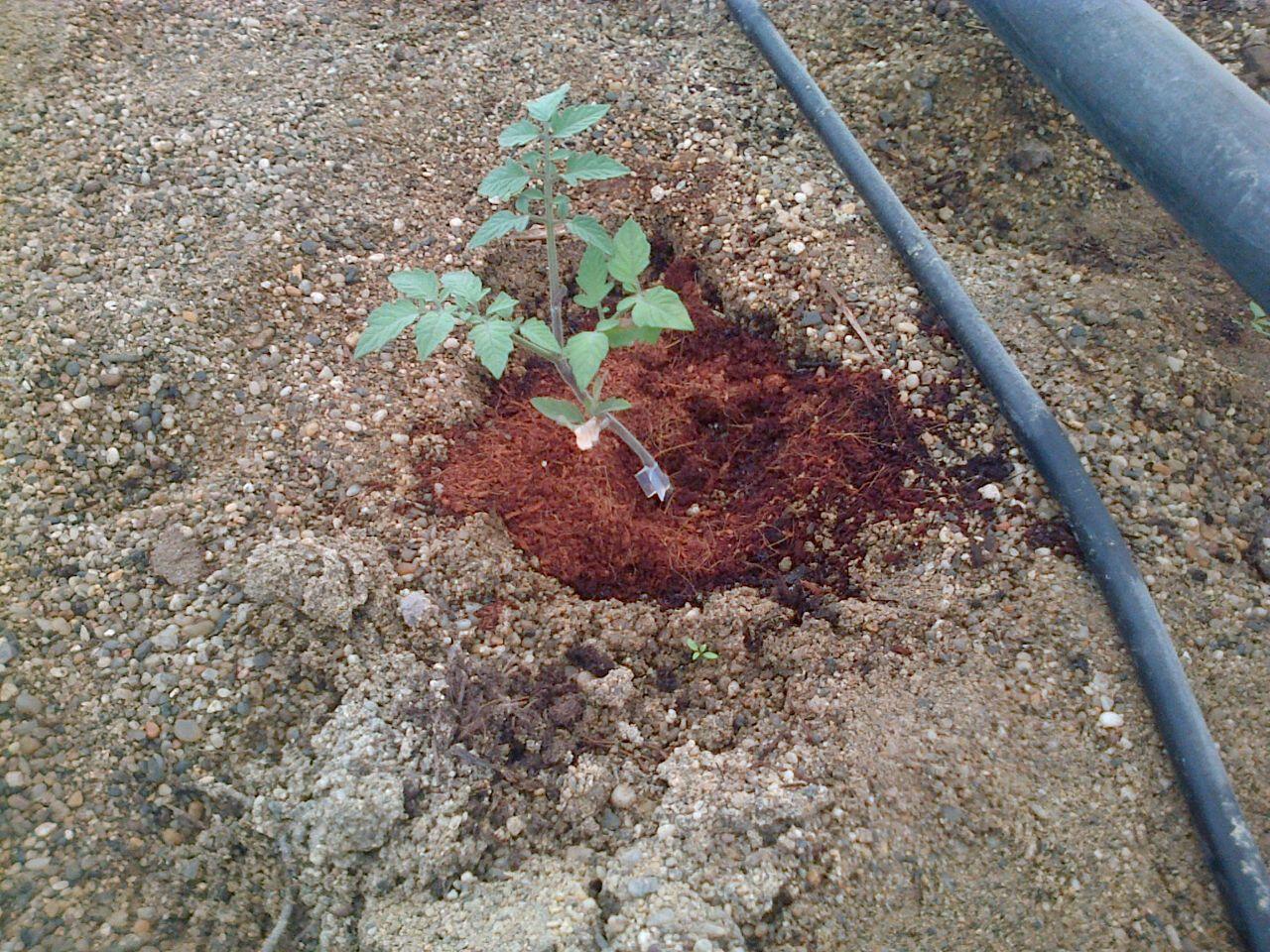 Activa el suelo de tu planta: el Tomate