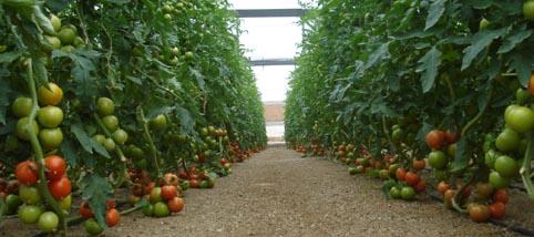 Se prevé una menor producción de tomate en Almería los dos primeros meses de 2017