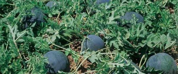 Mejora la productividad de tu cosecha de melón y sandía con Vigore Eco