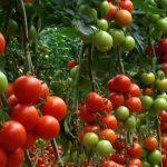 En Italia y España se produce el 62 por ciento de todo el tomate europeo
