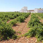 Agricultura inyecta 27 millones en los viñedos
