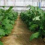 Cultivar berenjena en invernadero ha duplicado esta campaña los ingresos medios por hectárea